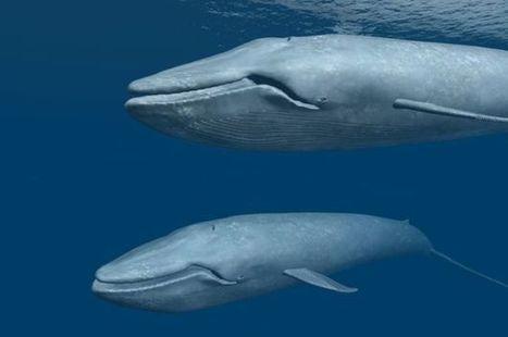Cómo la ballena azul llegó a conv...
