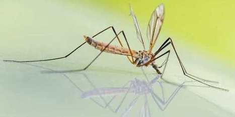 Les scientifiques créent un moustique résistant à la dengue | Actualité Houssenia Writing | EntomoNews | Scoop.it