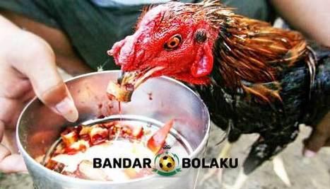 Cara Membuat Ayam Bangkok Ganas Saat Bertarung