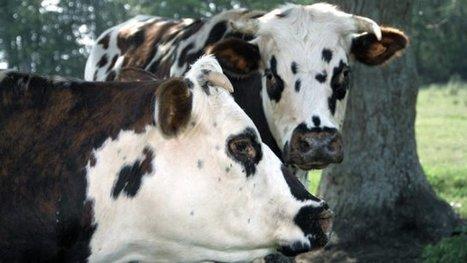 Un abattoir iranien veut 350 vaches normandes à embarquer tout de suite par avion ! - France 3 Basse-Normandie   Nature to Share   Scoop.it