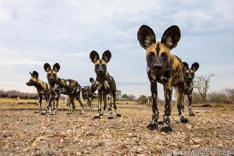 Imágenes de distintos fotógrafos preocupados por especies en extinción - VeoVerde | EDUDIARI 2.0 DE jluisbloc | Scoop.it