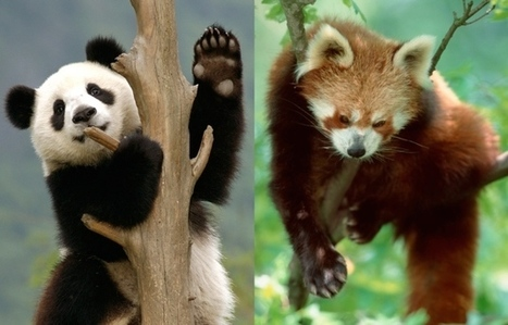 How the panda's 'thumb' evolved twice | Gaia Diary | Scoop.it