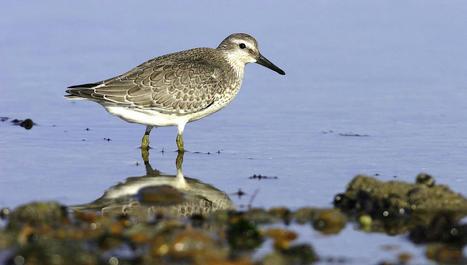 Biodiversité en Baie de l'Aiguillon : les oiseaux migrateurs et les amphibiens | Histoires Naturelles | Scoop.it