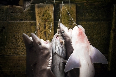 Shark fins from Canada sold as delicacy in China | Water Stewardship | Scoop.it