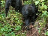 Gorilla Youngsters Seen Dismantling Poachers' Traps—A First | Science and Other Wild Affairs | Scoop.it