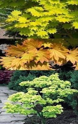 Good Plant 19 Acer Shirasawanum Aureum J