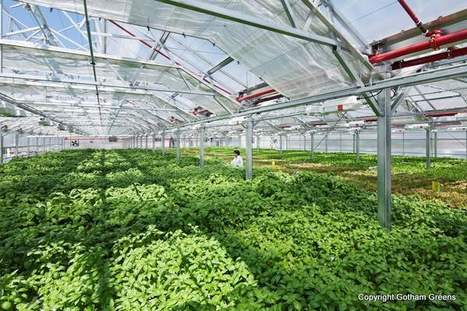 Des salades sur les toits de NYC / Vegetables on rooftops in NYC | biodiversité en milieu urbain | Scoop.it