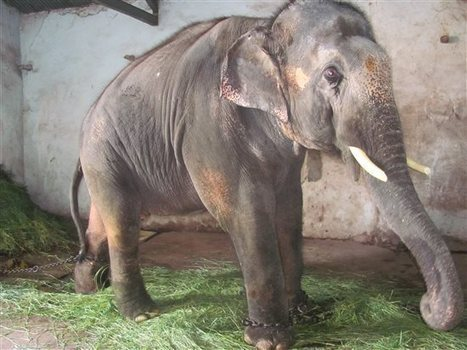 Court Rules To Release Sunder The Elephant From Captivity | Global Animal | Nature Animals humankind | Scoop.it
