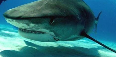 Les requins font moins de victimes que les méduses | Dans mes bulles... | Scoop.it
