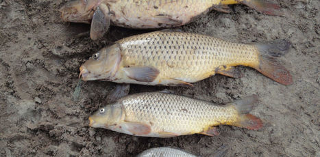 Carpageddon:  what you need to know about the release of carp herpes in Australia | Twisted Microbiology | Scoop.it