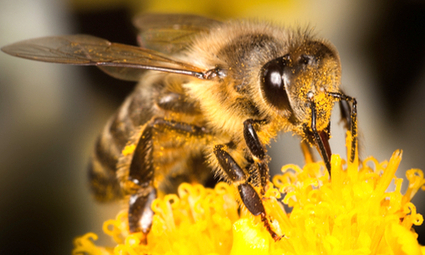 EPA Approves Another Pesticide Highly Toxic to Bees | EcoWatch | EcoWatch | Scoop.it