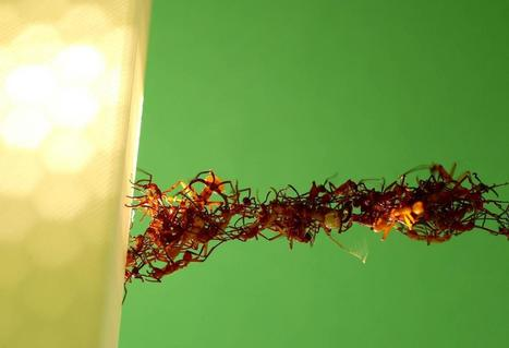 Army ants' 'living' bridges suggest collective intelligence | KurzweilAI | intelligence collective | Scoop.it
