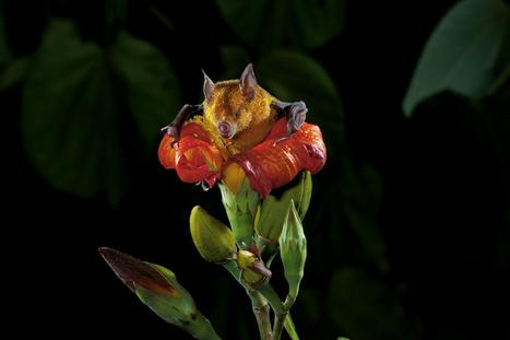 L'art de charmer une chauve-souris en lui offrant des fleurs - National Geographic | Réseau Tela Botanica | Scoop.it