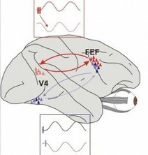 Synchronized Brain Waves Focus Our Attention | Consciousness | Scoop.it