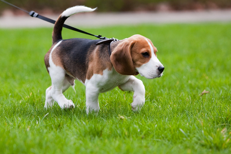 Retractable leashes: Are they a no-go? | In Your Pet's Best Interest | Scoop.it