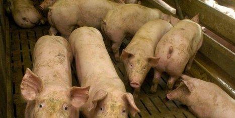 Abattoir de Thiviers (24) : plus de bêtes à traiter, des embauches à la clé   Agriculture en Dordogne   Scoop.it