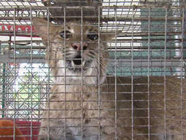 Injured Bobcat bites stupid woman! | MORONS MAKING THE NEWS | Scoop.it