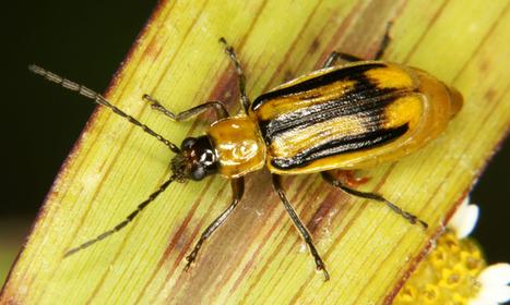 Le chasseur devient le chassé : un insecte évolue pour manger du maïs OGM empoisonné | Mes passions natures | Scoop.it