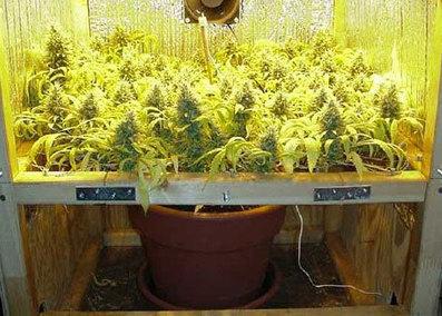 Quick Guide to Marijuana Training Techniques    Quick Guide to Marijuana Training Techniques    . Aerogarden Weed Harvest. Home Design Ideas
