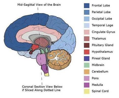 Brain Anatomy | White Matter, Cerebellum, Cereb...