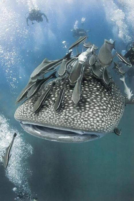 Seasaver: Whale #sharks & #mantas increasingly plagued by #remoras #overfishing ? | Rescue our Ocean's & it's species from Man's Pollution! | Scoop.it