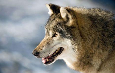 Deux associations l'affirment : cette fois, le loup est en région parisienne ! | Options Futurs Rio+20 | Scoop.it