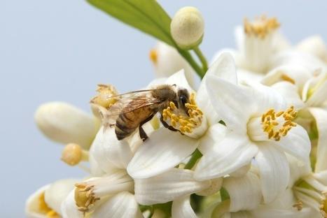 Entre l'Australie et la Nouvelle-Zélande, une bataille pour le miel de Manuka | Biodiversité | Scoop.it