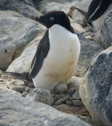 Penguin Disaster As Iceberg Blocks Route To Sea | Antarctica | Scoop.it
