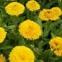 Soucis jaune, la fleur utile contre les nuisibles | Jardin-Biodiversité | Potager & Jardin | Scoop.it