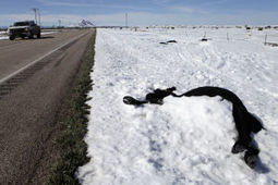 Tens of thousands of cattle killed in Friday's blizzard, ranchers say | ALS Animals | Scoop.it