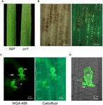 Frontiers | Characterization and Genetic Analysis of Rice Mutant crr1 Exhibiting Compromised Non-host Resistance to Puccinia striiformis f. sp. tritici (Pst) | Plant Biotic Interactions | Rice Blast | Scoop.it