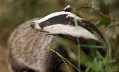 High court rejects badger cull challenge | The natural world | Scoop.it