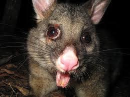 Possum pox! | Australian Culture | Scoop.it