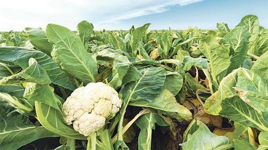Safeguarding traditionally cultivated local vegetables