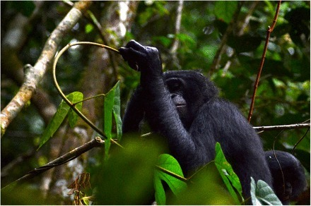 Birds, bees, lizards, elephants, and chimpanzees all share a survival trait: They self-medicate | Amazing Science | Scoop.it