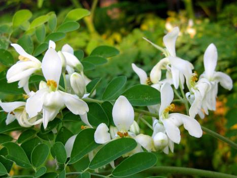 How to Grow a Moringa Tree   Miracle Moringa   Scoop.it