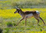 Grazing Animals Could Help Repair Human-Altered Grasslands ... | rangelands | Scoop.it