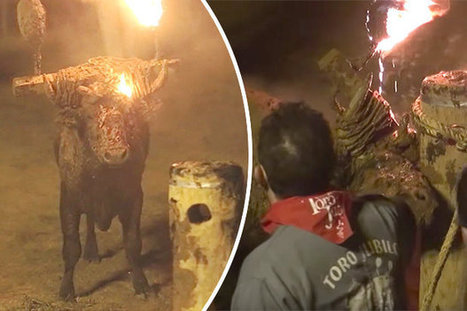 Live bull set on FIRE as crowds cheers and taunt in barbaric festival   Nature Animals humankind   Scoop.it
