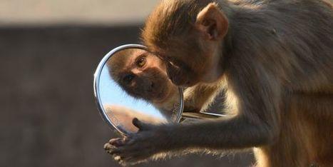 Les singes pourraient disparaître de la planète d'ici vingt-cinq ans à cinquante ans - le Monde | Actualités écologie | Scoop.it
