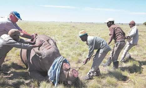Ruthless smugglers make rhinos a target | Rhino poaching | Scoop.it