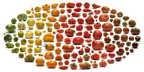 Les variétés de tomate