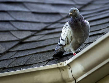 Animal rights group squawks over pigeon round-ups - Chicago Sun-Times | Life on Earth | Scoop.it