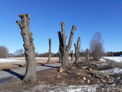 Turun Ruissalon kansallismaisemassa puut leikattiin torsoiksi – raju  parturointi takaa Ruisrock-kävijöiden turvallisuuden  bcfc5dceae