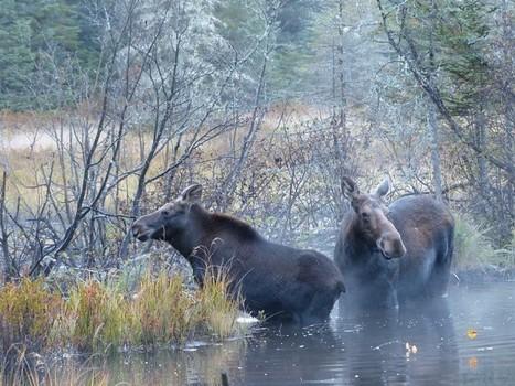 Photo de mammifère : Elan - Orignal - Alces alces - Moose | Fauna Free Pics - Public Domain - Photos gratuites d'animaux | Scoop.it