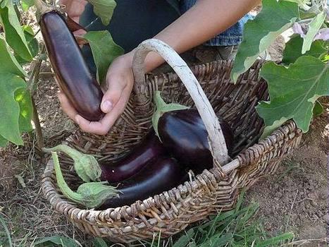 Un jardin vivrier : les légumes basiques | jardins et développement durable | Scoop.it