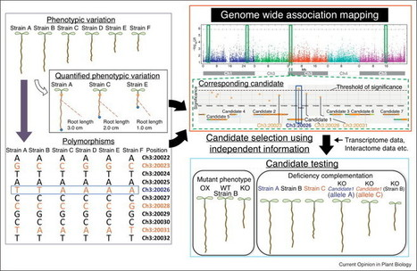 From phenotypes to causal sequences: using genome wide association studies to dissect the sequence basis for variation of plant development | Biotech | Scoop.it