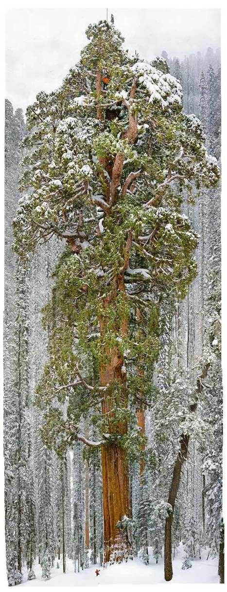 Sequoias : Snow Tree - National Geographic | The Blog's Revue by OlivierSC | Scoop.it
