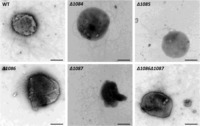 Identification of genes involved in the biosynthesis third and fourth sugars of the Methanococcus maripaludis archaellin N-linked tetrasaccharide | Archaeal surface structures | Scoop.it