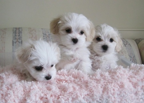 World's Top & Cutest Toy Dog Breeds | Pets World | Dog Love | Scoop.it