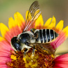 Pollinator conservation and diversity